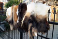 goat-Tannery, tanning of skins