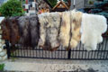 heidschnucke_sheepskin-Tannery, tanning of skins