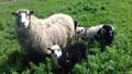 spelsau_sheepskin-Tannery, tanning of skins