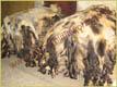 Viele Wildschweine - Gerberei Polen